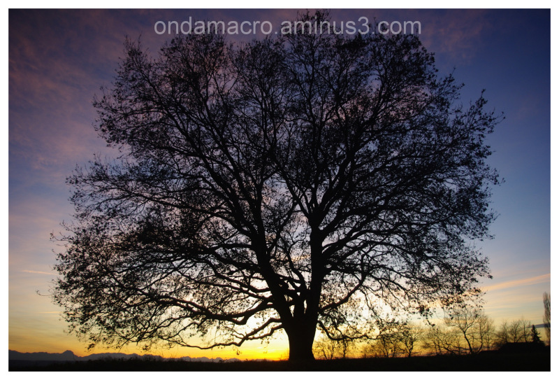 Walnut tree in the sunset