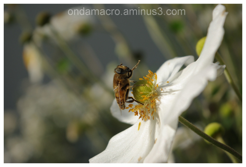 Fly on a white flower, macro