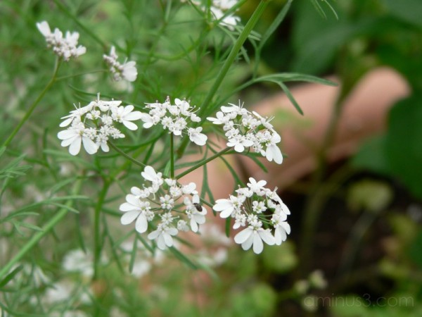 coriander in flower