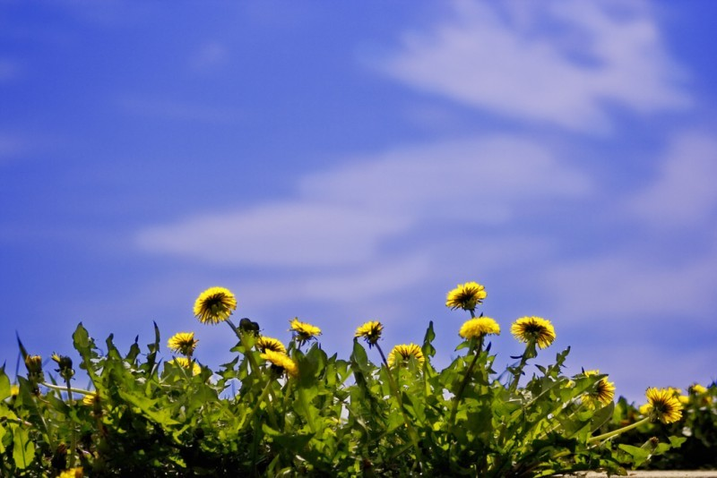Dandelions against a blue sky