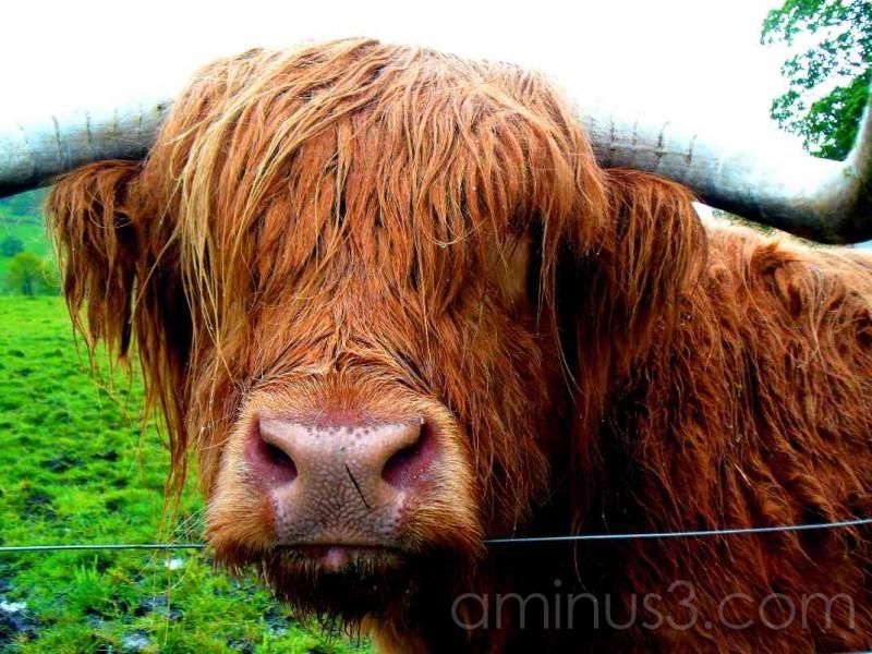 Aberdeen Angus Bull Highlands