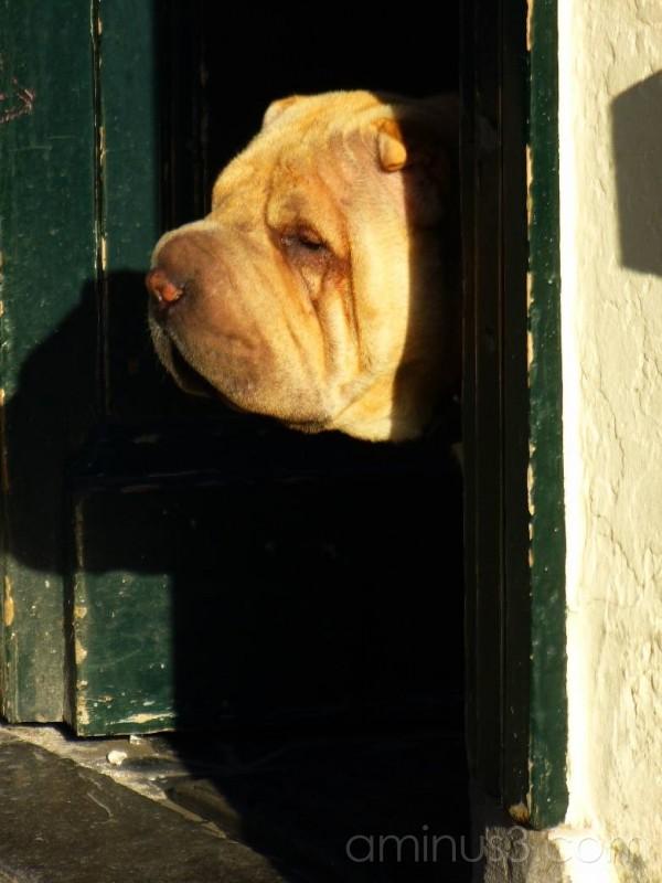 Dog peering out of door