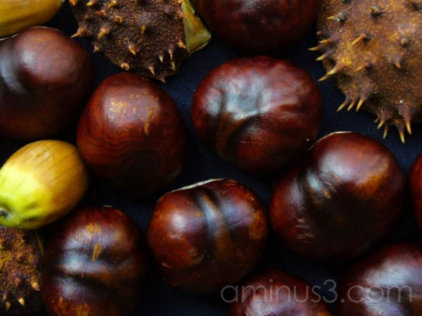 chestnuts acorn