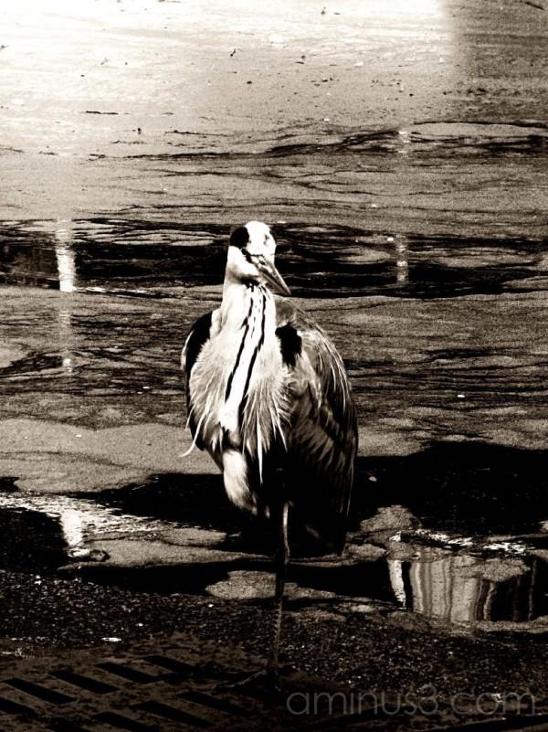 Heron in mono Den Haag