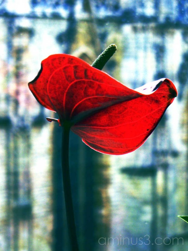 red flower backlit by window