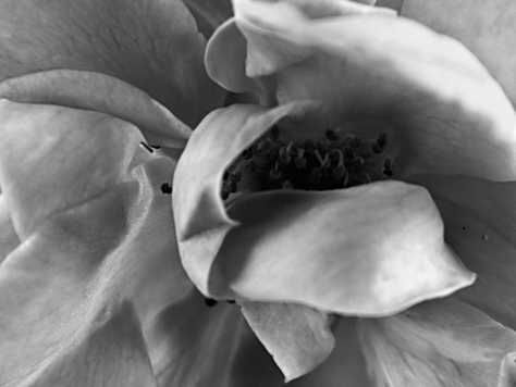 Closeup of flower in balck and white