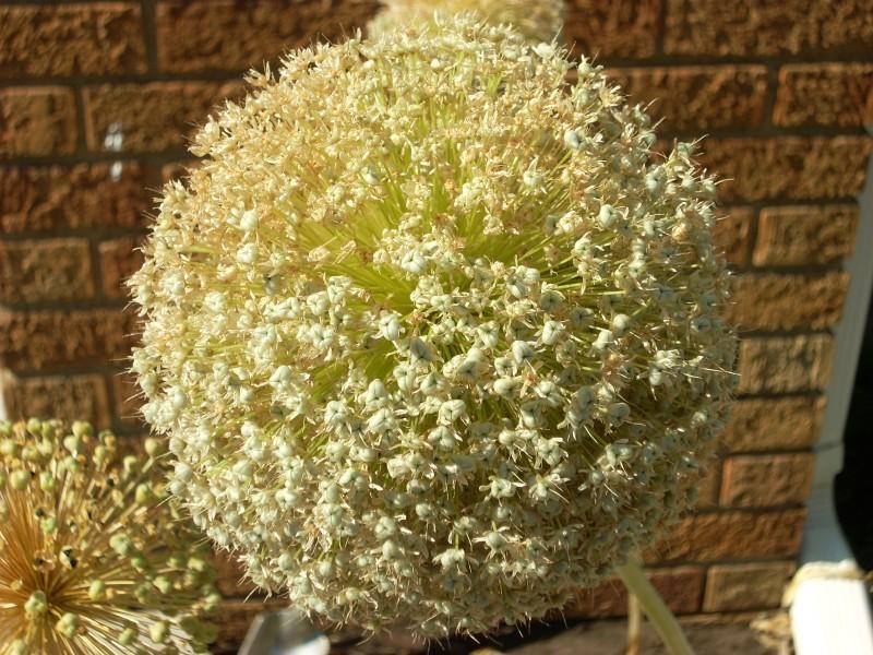 ball star flower
