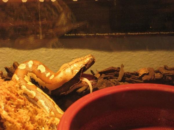 My snake eats