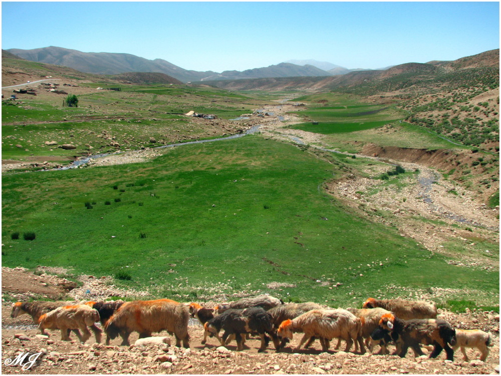 Sheep Graze Grass Green