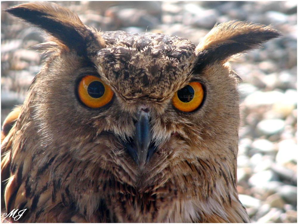 Owl Bird جغذ بوف