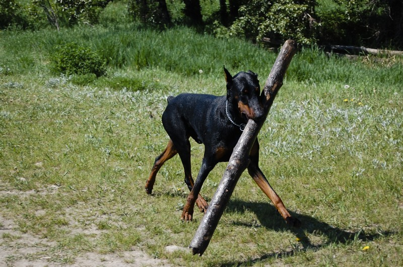 Rotti with a huge stick