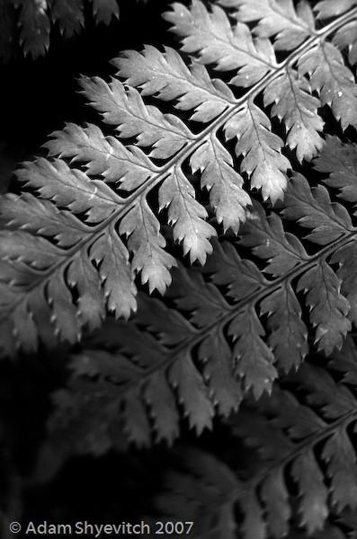Receding Leaves B&W