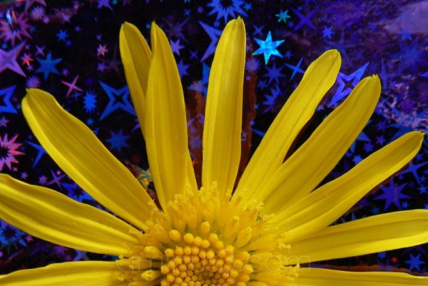 yellow daisy with holographic background