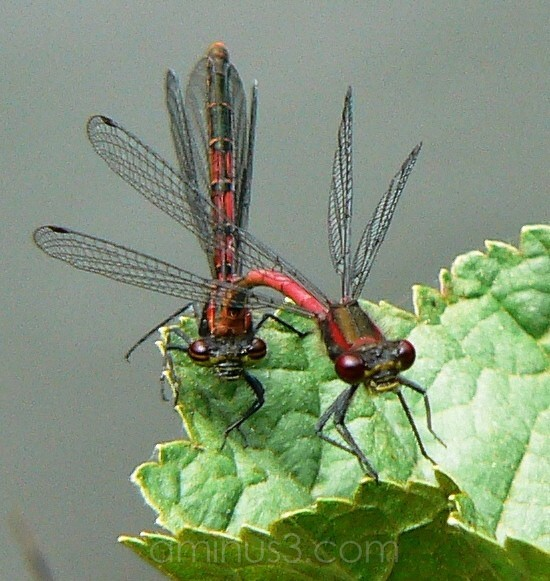 Red Damselflies day 3