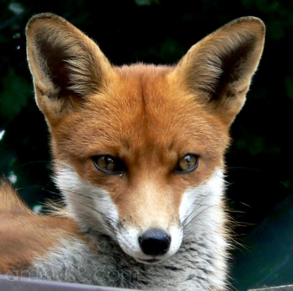 Mr Fox.
