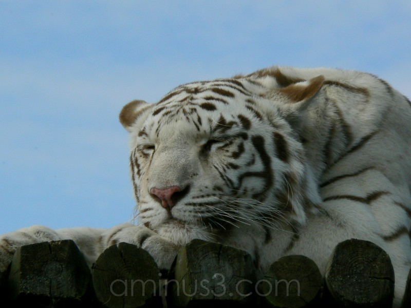White Bengal Tiger.