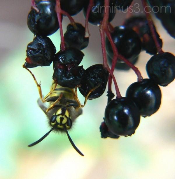 Anyone for elderberry wine? Hic!