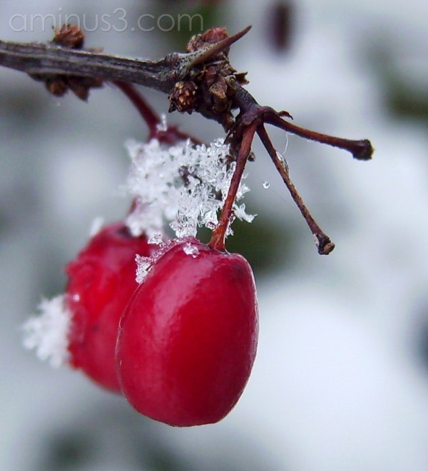Snowflake and Red Berry. 1