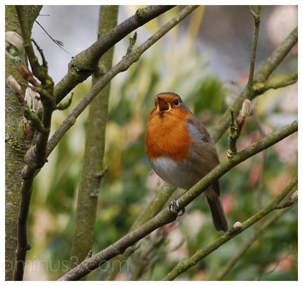 A Robin sings.