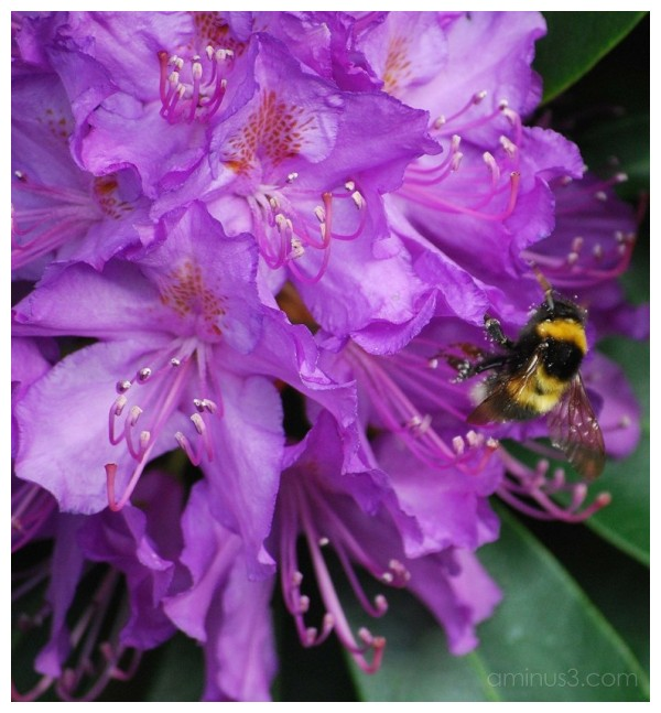 Rhododendron & Bee.