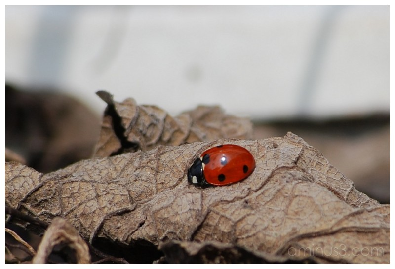 The little Lady Bug.