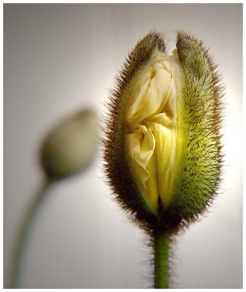 Emerging poppy.