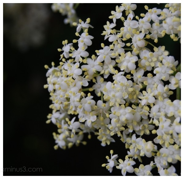 Elderflower.