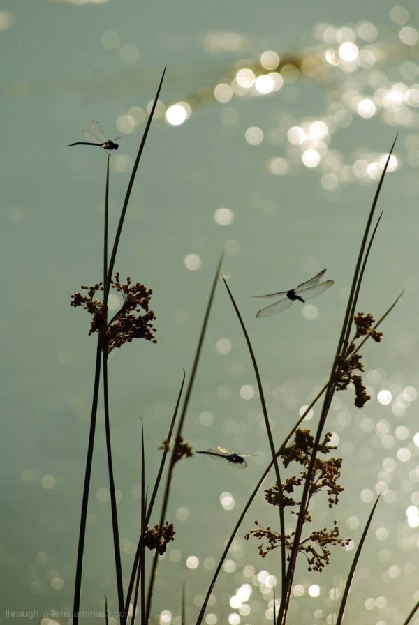 Birthday Dragonflies.