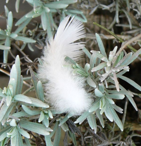 Feather and Lavender.