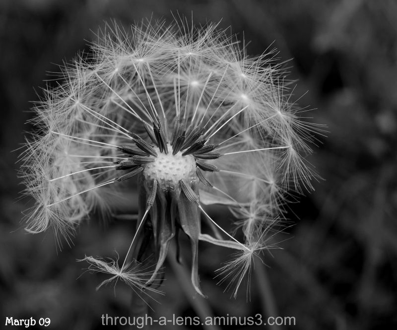Natures time piece (Dandelion Clock)