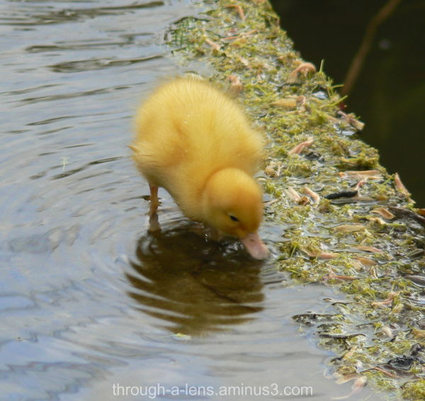 The not so ugly duckling