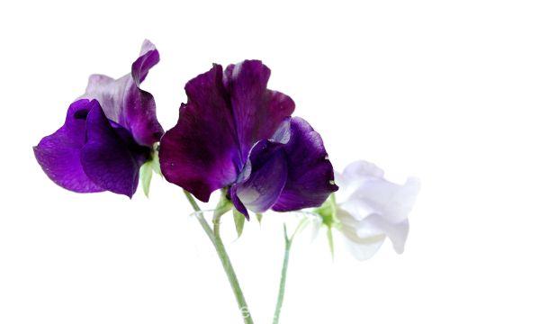 Purple sweetpeas