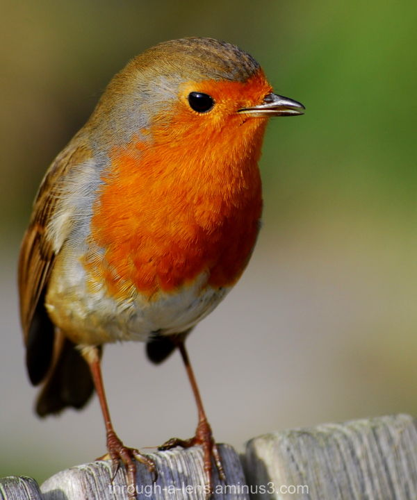 The Friendly Robin