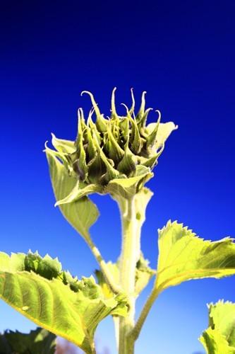 Sunflower before bursting into flower