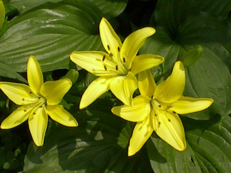 Different view of Daylilly