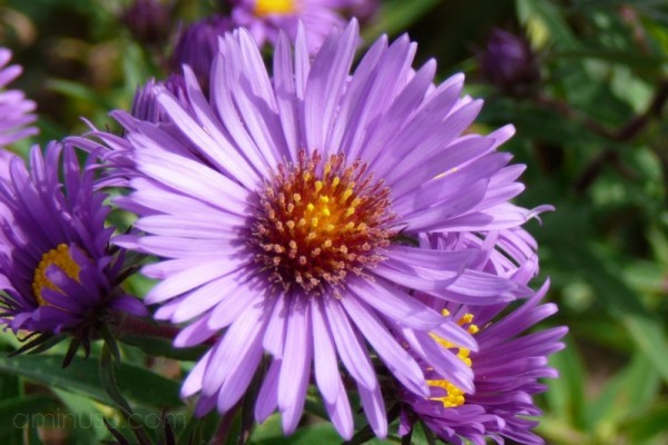 Purple Fall Aster