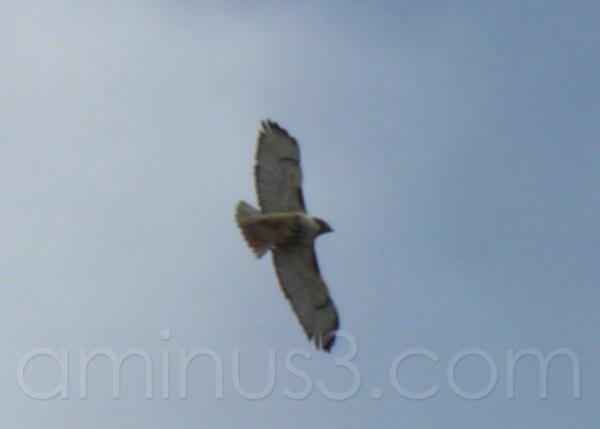 Hawk In Flight ...