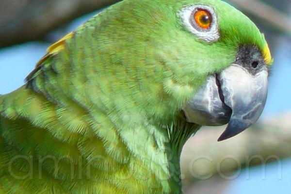 True Parrot Head ...