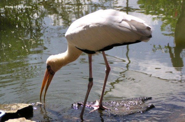 Stork looking for food