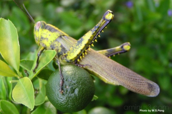 Grasshopper on the lime