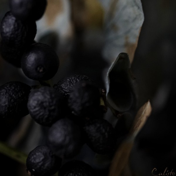 dark, flower, berries, autumn