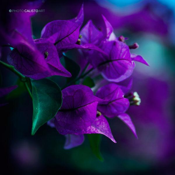 Yiruma, vio, purple, square, flower