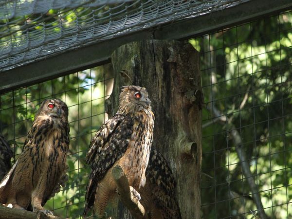 red eyed owls