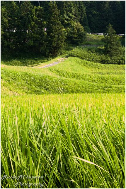 Rice Growing in Komono