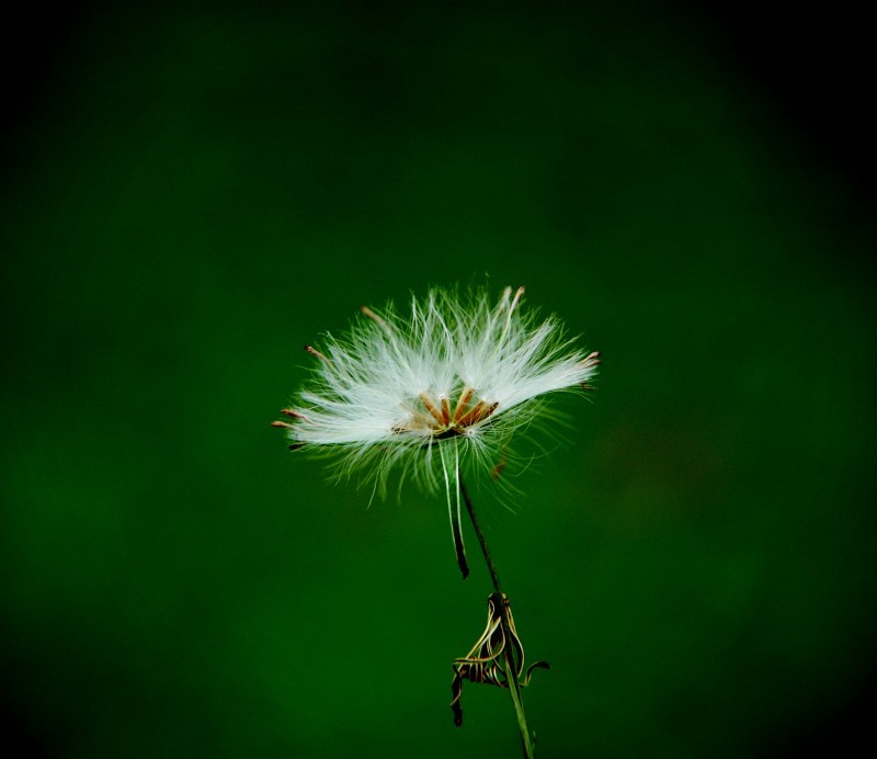 Dandelion in full glory