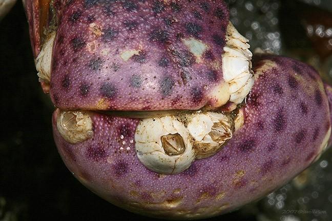 This crab hates barnacles
