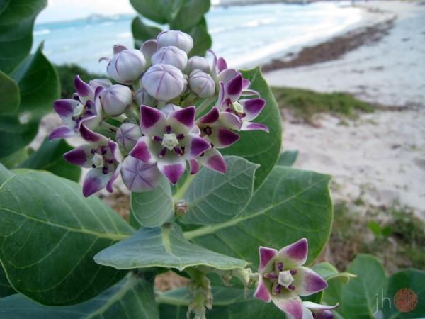 aruban wildflowers