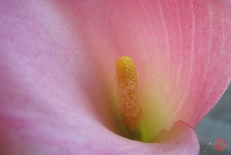 calla lily iii