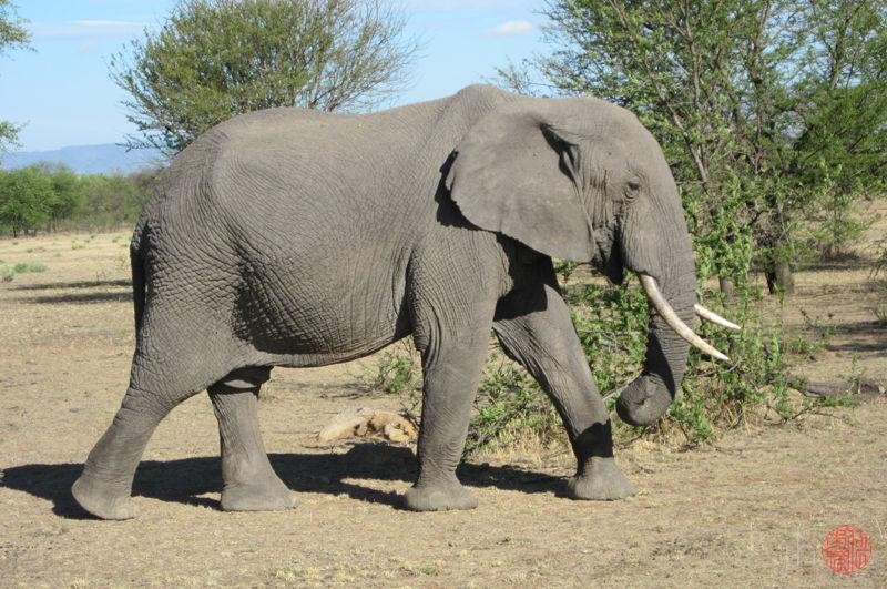 elephant, side view