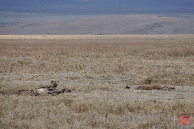 sleeping hyenas
